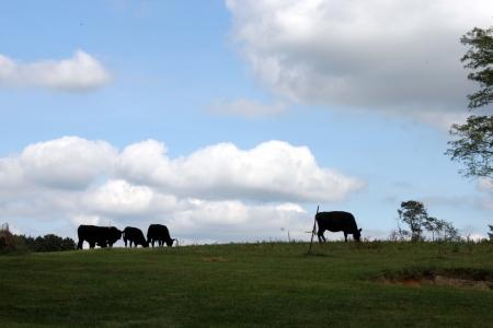Cows on the hill agaist tge sky
