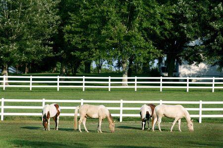Four beautiful horses grazing