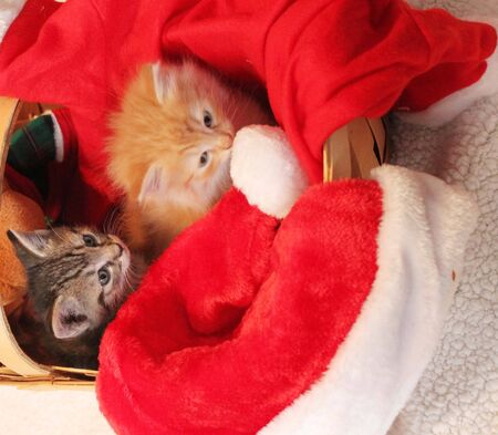 Two kittens in Christmas basket