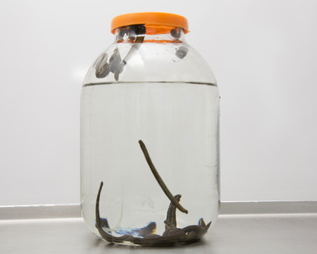 complementary therapies: Medical leeches in a glass container closed with a lid.