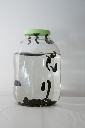 hemorragia: Medical leeches in a glass container closed with a lid.