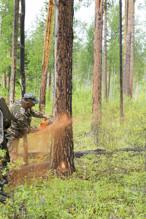 Manufacture of the index of the direction of sanitary felling of wood in the Siberian taiga by a chainsaw. Man cuts tree with chainsaw in forest.