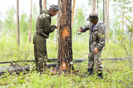 Forestry inspector with a group of foresters marking out the plot for sanitary felling of the forest. Marking of trees with a manual stamp for sanitary deforestation.
