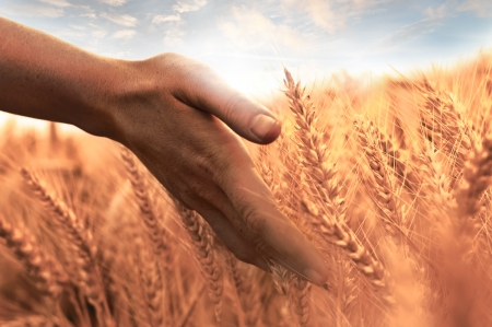Woman s hand touch wheat ears at sunset photo