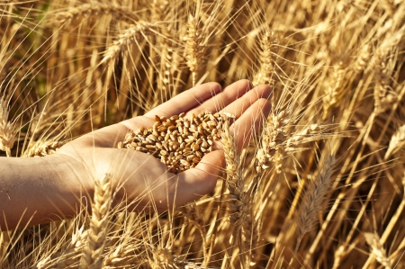 Hand full of wheat seeds, wheat ears background Stock Photo