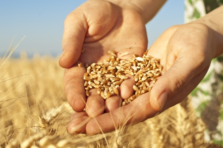 Close up of hands full of wheat seeds, wheat ears background