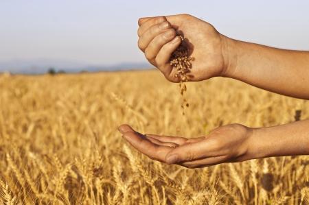 Tarwe zaden vallen in de hand in Korenveld achtergrond