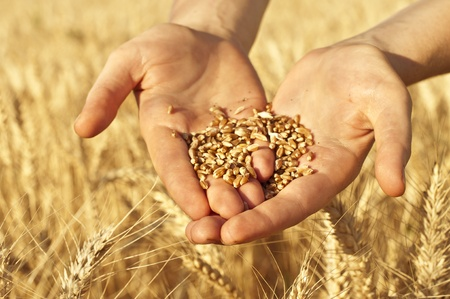 harvesting: Close up of hands full of wheat seeds, wheat ears background
