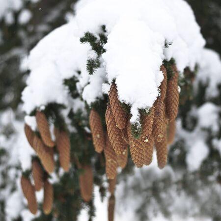pomme de pin: Détail d'hiver