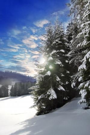 snow capped: �rboles del invierno, nieve, pinos nevados hermosos, cielo azul