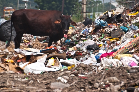 Cow eating trash from illegal landfill
