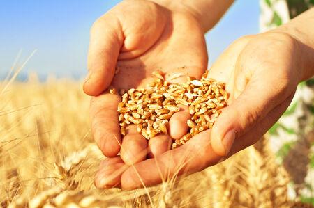 Nahaufnahme der Hände voll von Weizen-Saatgut, Weizen Ohren Hintergrund Standard-Bild