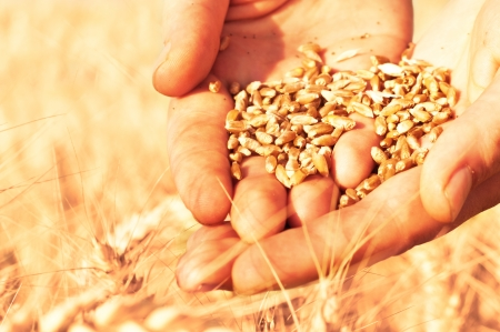 Close up of hands full of wheat seeds, wheat ears background photo