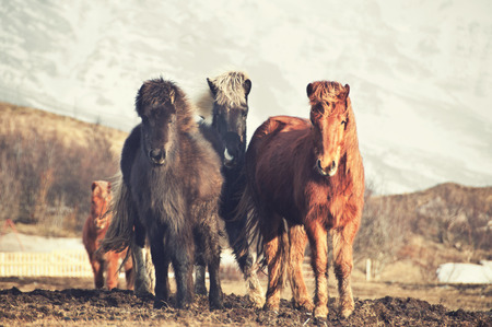Islandpferde Standard-Bild