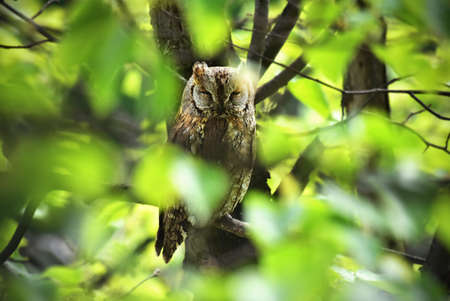 south african birds: Owl on a tree in the forest Stock Photo