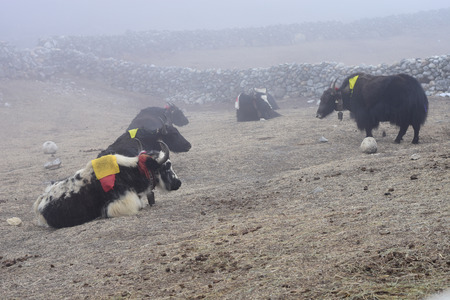 strong base: Expedition yaks on the way to Everest base camp.