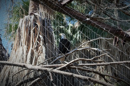 caged: American Bald Eagle