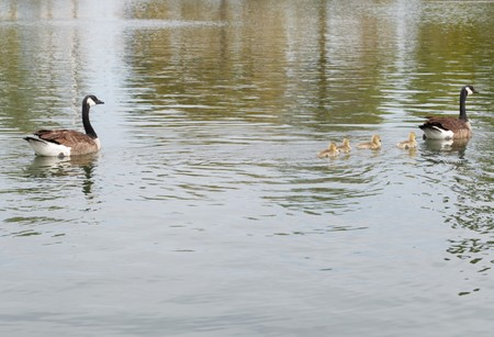 momma: Freestone Park - Geese- April Swimming Lesson as a family Stock Photo