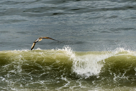 Petrel in flight over the crest of a wave Stock Photo