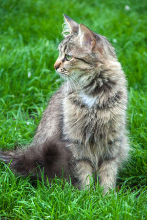 The gray cat sitting in a grass outdoors.
