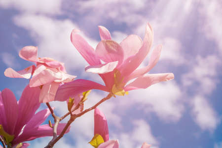 magnolia tree in blossom. beautiful purple flower close up. background with blue sky, clouds and rainbow. sun behind the plant.