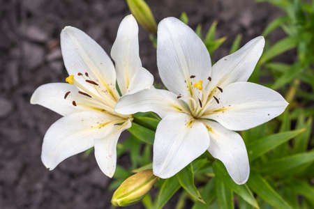 Lily, Lily at the cottage in the garden, Close-up. white lilies
