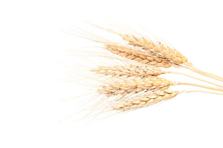Spikelets of wheat. isolated on white background.
