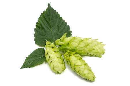 Hop cone with leaf. Isolated on white.