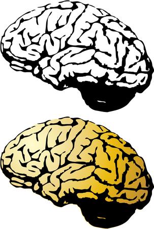 thalamus: el conjunto de vectores del cerebro humano