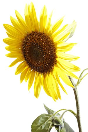 sunflower isolated on a white background  photo