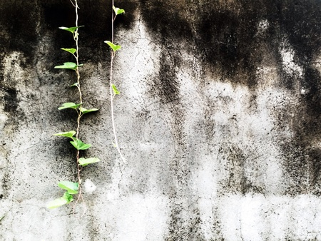 wallflower: wall with vines Stock Photo