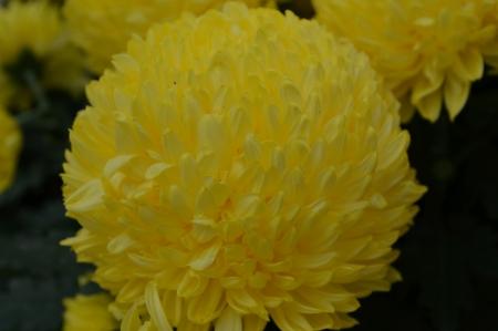 Big round yellow flower stock photo picture and royalty free image big round yellow flower stock photo 24220418 mightylinksfo