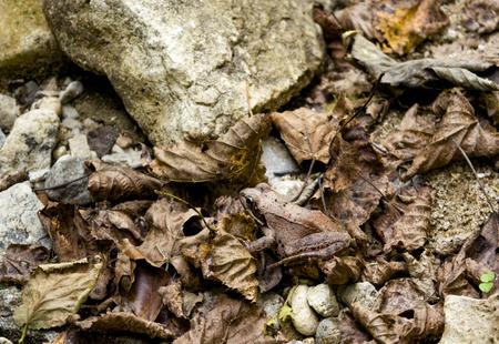 amphibia: Asia Minor frog shot in the mountainous North Caucasus River Gorge Stock Photo