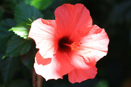 macroshot: hibiscus