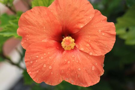 macrophoto: hibiscus