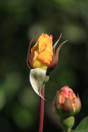 macrophoto: rose bud