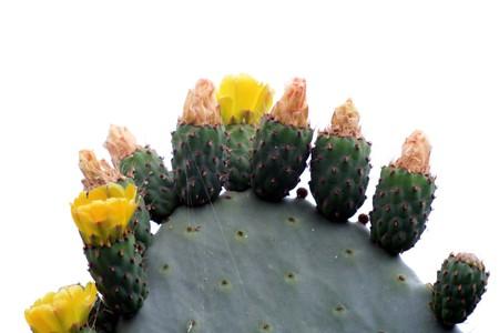 opuntia: cactus opuntia