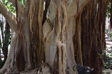 ficus: ficus tree ficus socotrana Stock Photo