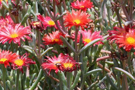 coppery: fiore rosso iceplant, Gran Canaria, Spain Archivio Fotografico