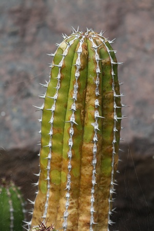 macroshot: euphorbia echinus,Gran Canaria,Spain Stock Photo