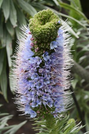 macrophoto: echium hierrense,Gran Canaria,Spain
