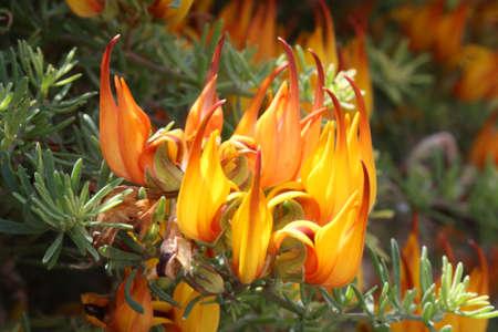 lotus maculatus,Gran Canaria,Spain Stock Photo - 9436032