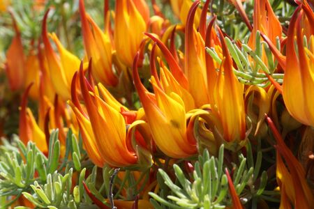 faboideae: loto maculatus, Gran Canaria, Spain Archivio Fotografico