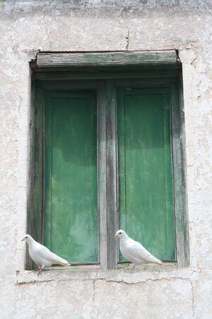 white pigeon,Gran Canaria,Spain