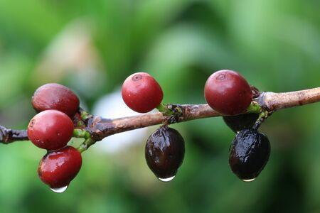 macrophoto: coffee shrub,Gran Canaria,Spain Stock Photo