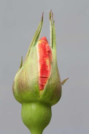 rose bud: bocciolo di rosa e rosa, Gran Canaria, Spain