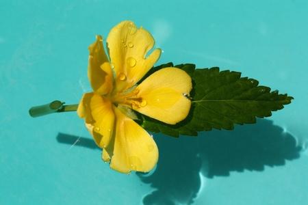damiana: turnera ulmifolia,Gran Canaria,Spain