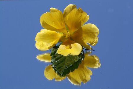 passifloracea: turnera ulmifolia,Gran Canaria,Spain