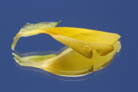 yellow alder: turnera ulmifolia,Gran Canaria,Spain