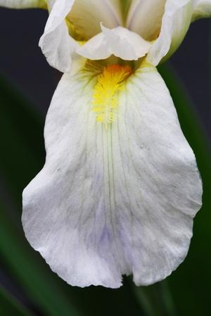 macrophoto: iris,Gran Canaria,Spain Stock Photo